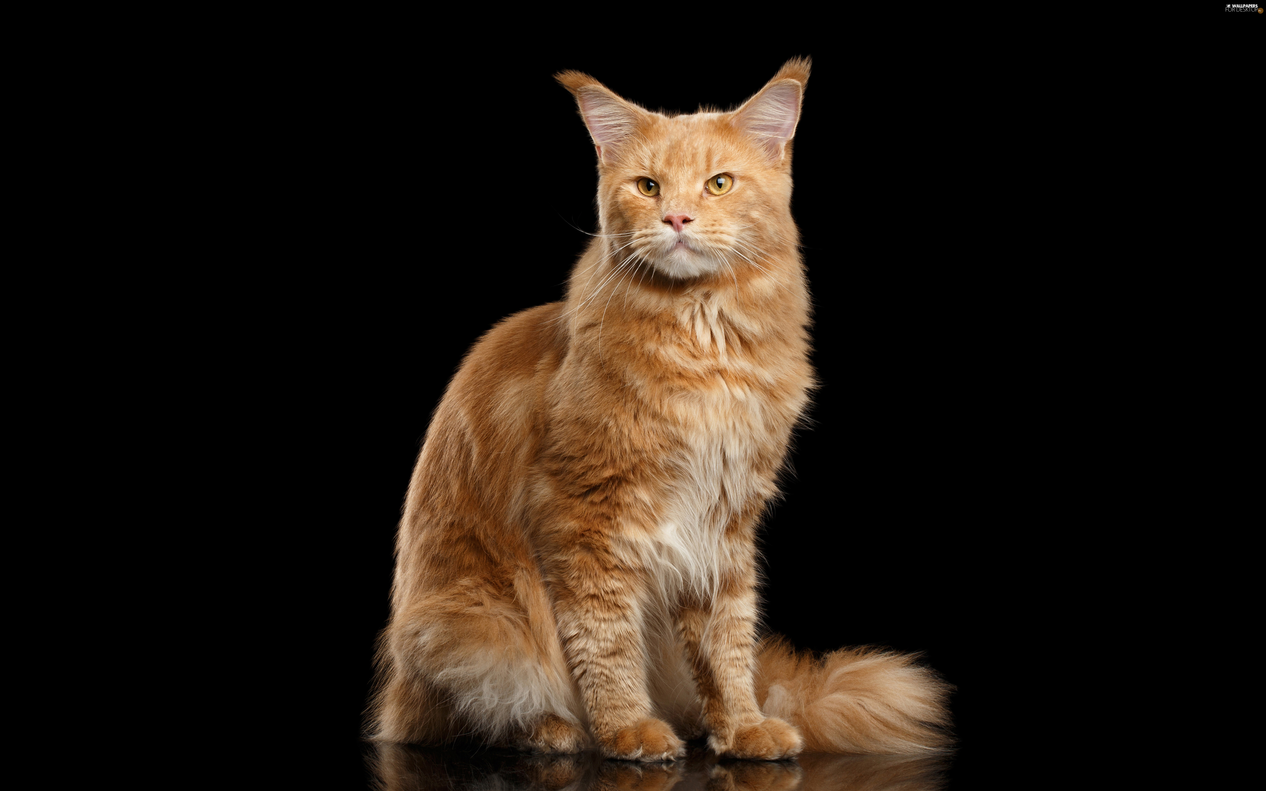 cat, Maine Coon, ginger