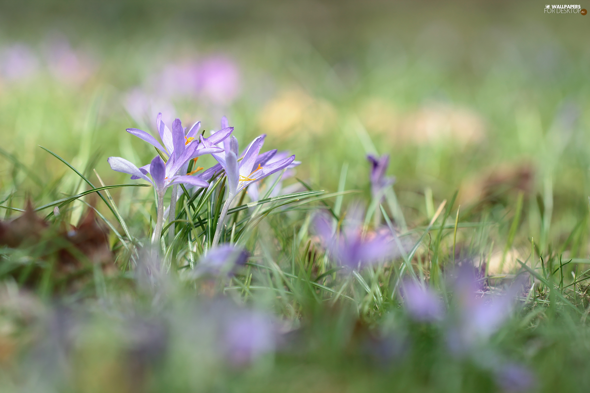 purple, Flowers, grass, crocuses