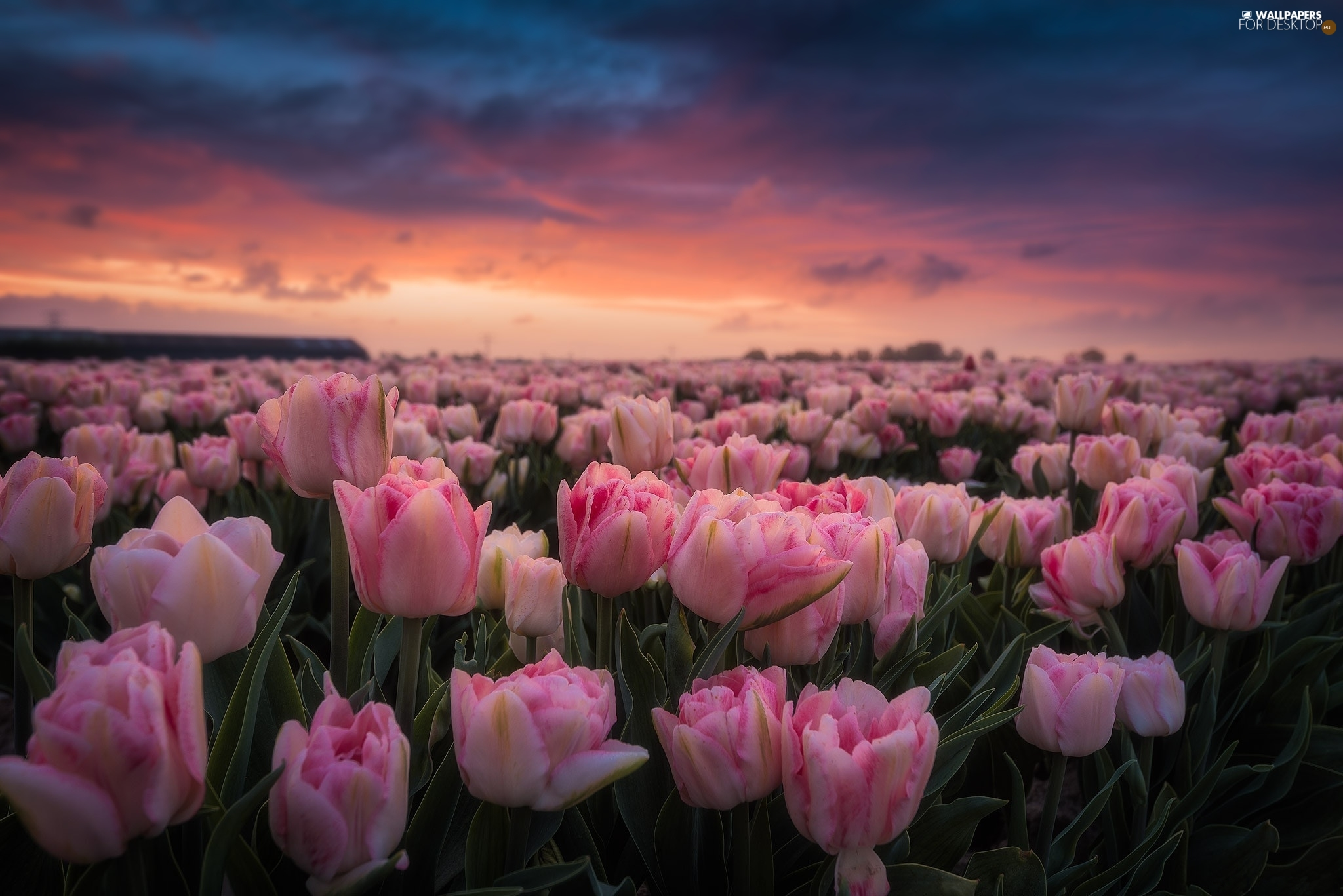 Pink, Field, Great Sunsets, Tulips