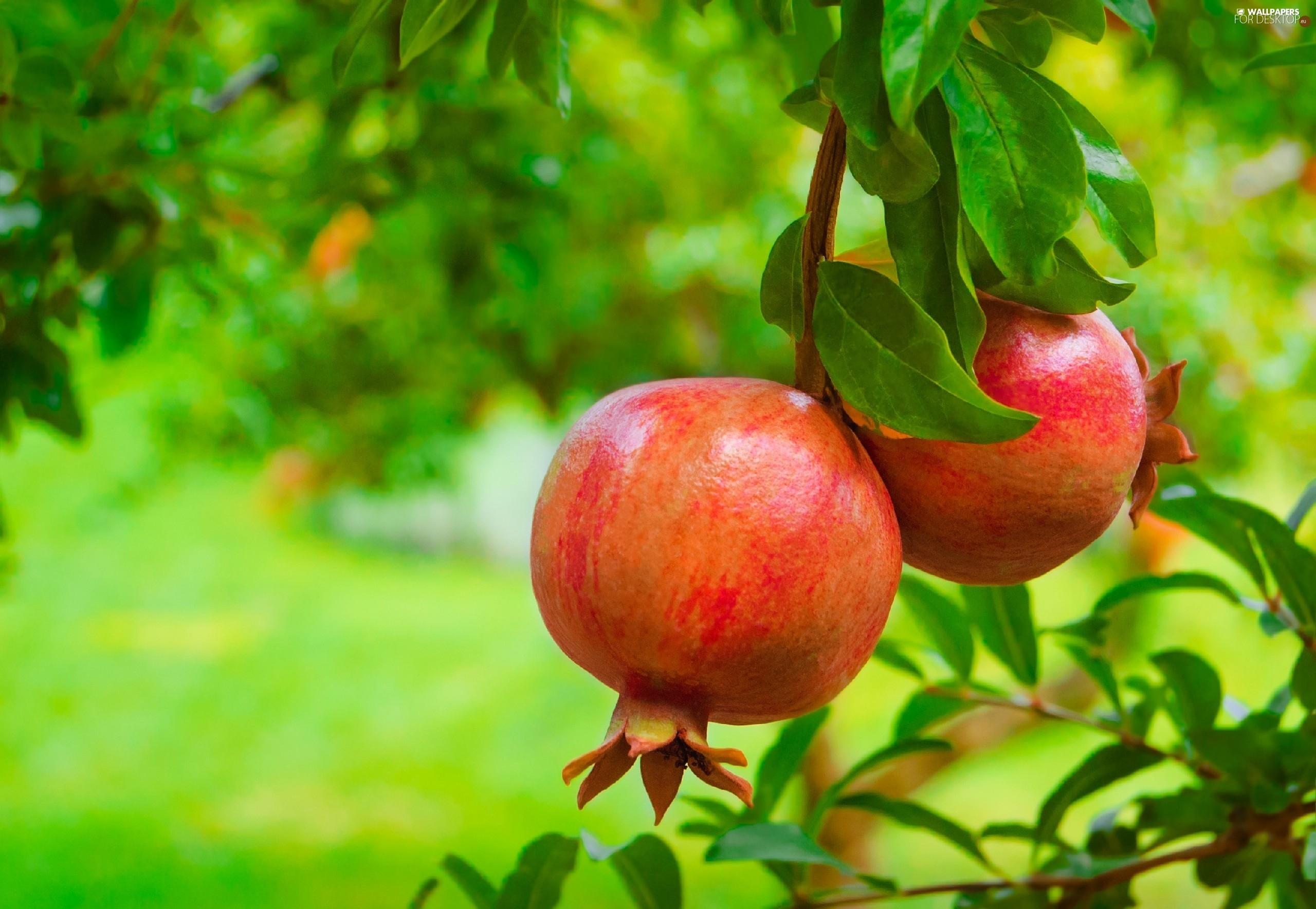 Fruit tree wallpaper desktop - Backgrounds 2560x1769 Granatu Fruits Garden Trees