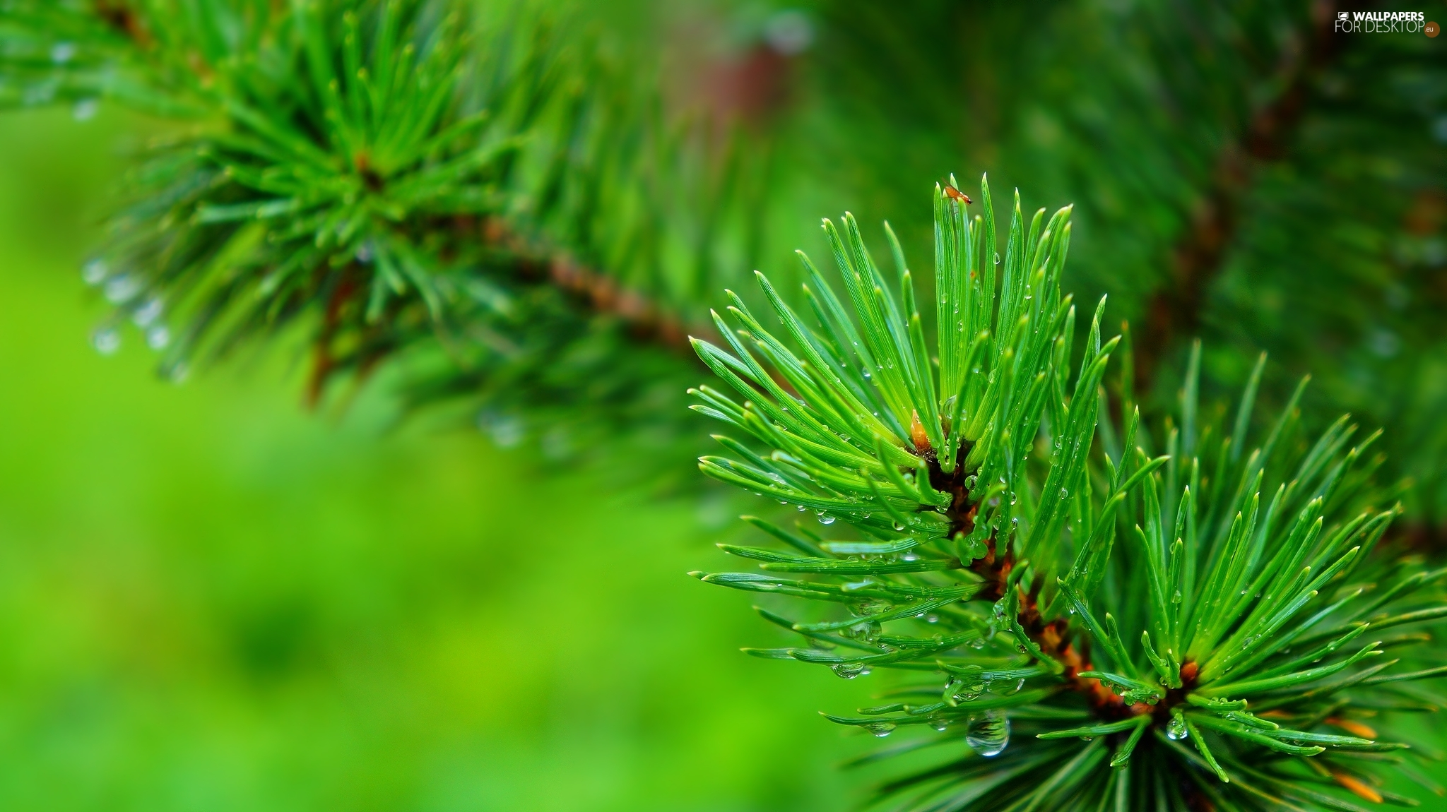 pine, conifer, Green, twig