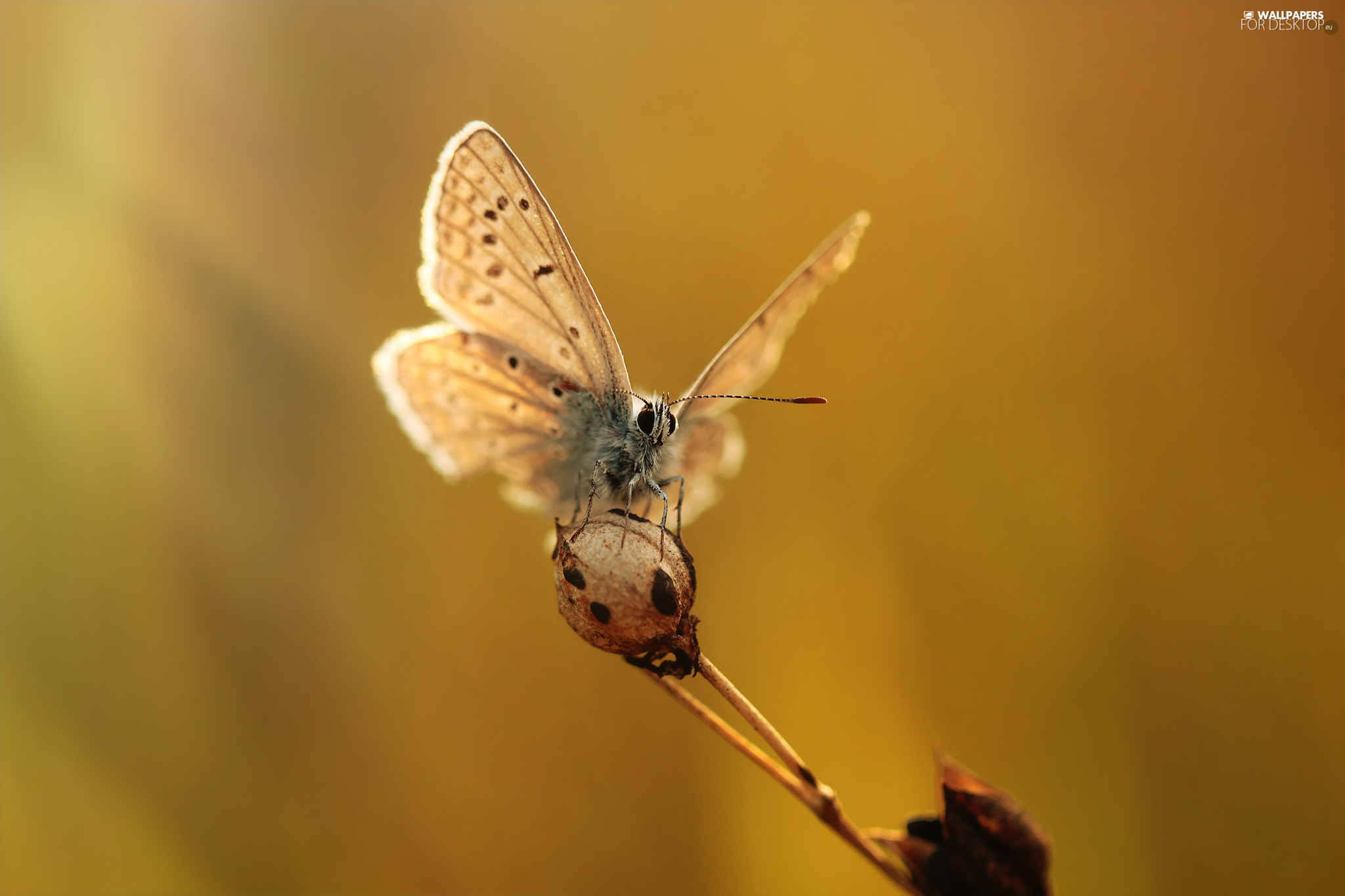 butterfly, Insect, plant, Dusky