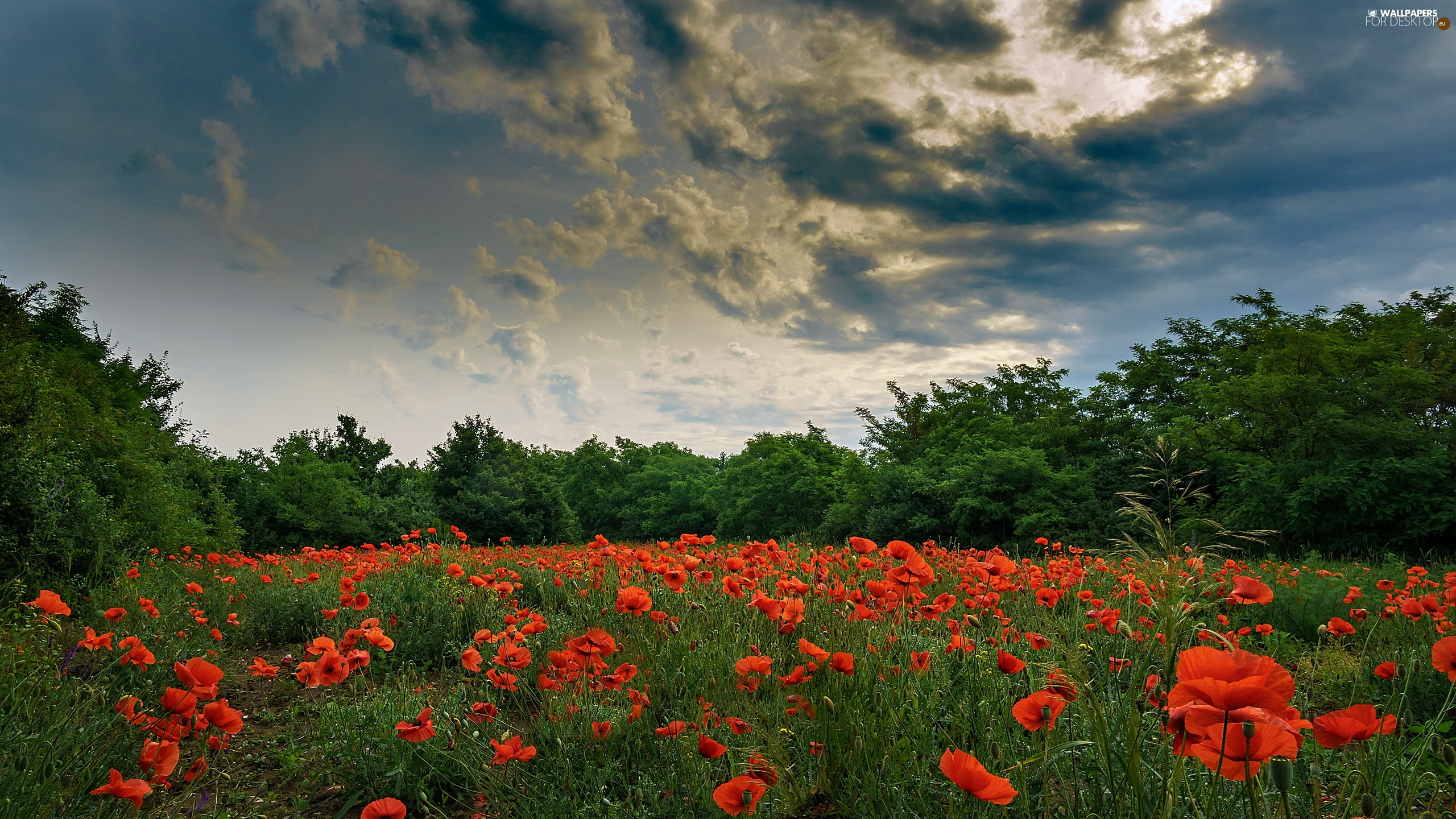 viewes, trees, Meadow, clouds, papavers
