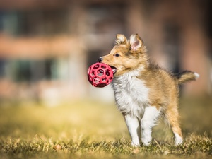 the ball, grass, Puppy, shetland Sheepdog, dog