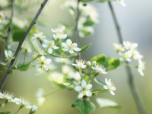 fruit, Twigs, Flowers, trees, White
