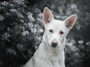 Shepherd US-Canadian, dog, Bush, Flowers, muzzle, White Swiss Shepherd