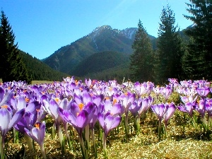crocuses, Tatras
