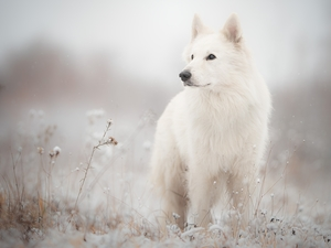 Meadow, dog, White Swiss Shepherd