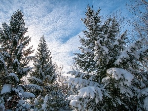 snow, winter, Spruces