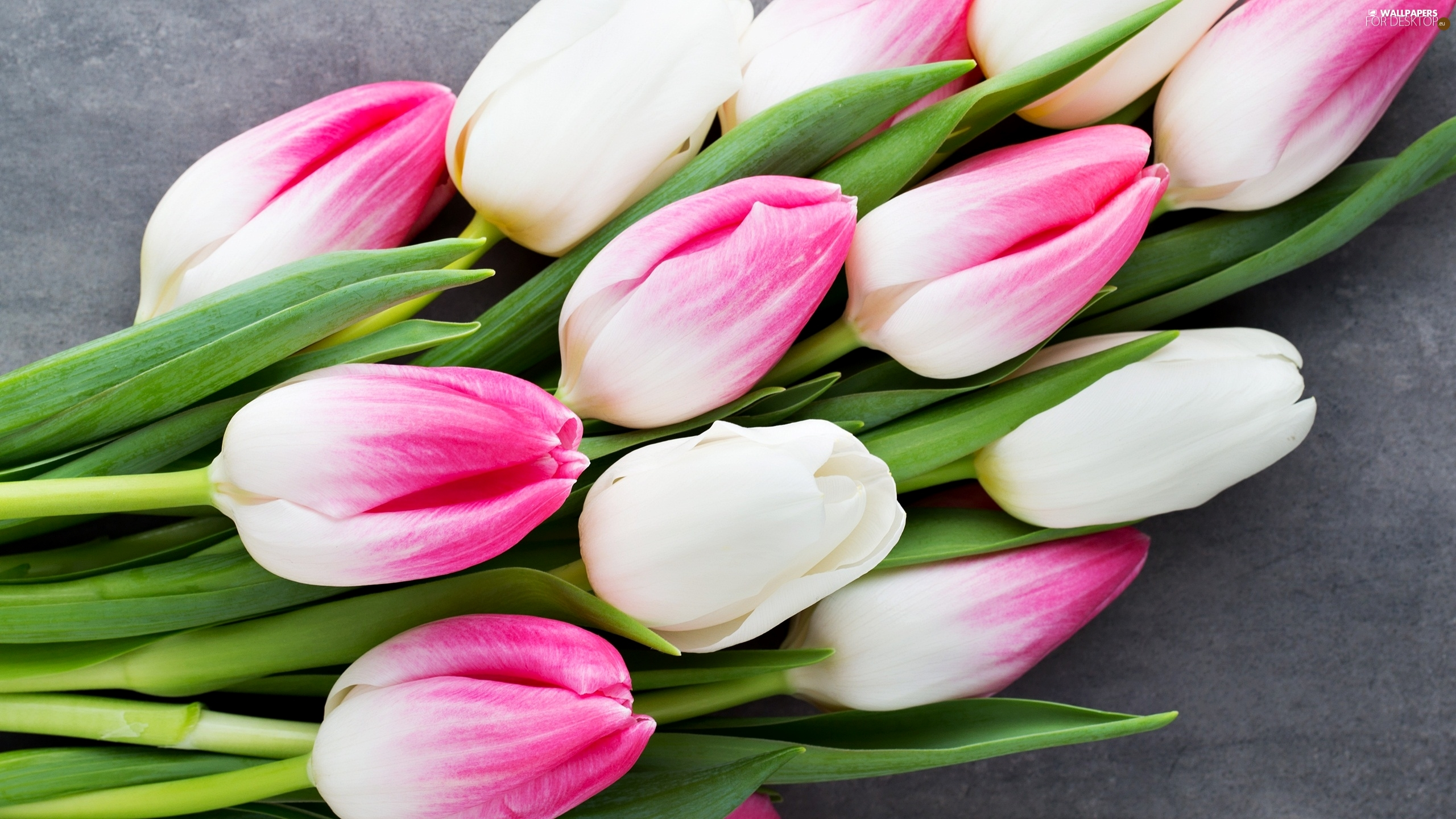 white and pink, Flowers, Tulips