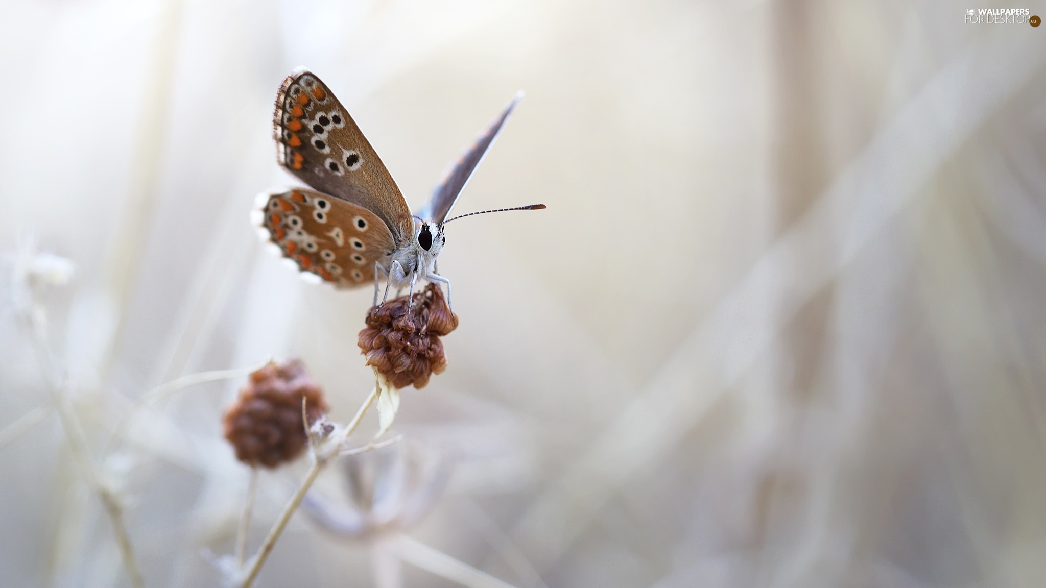 plant, butterfly, fuzzy, background, Macro, Dusky Icarus