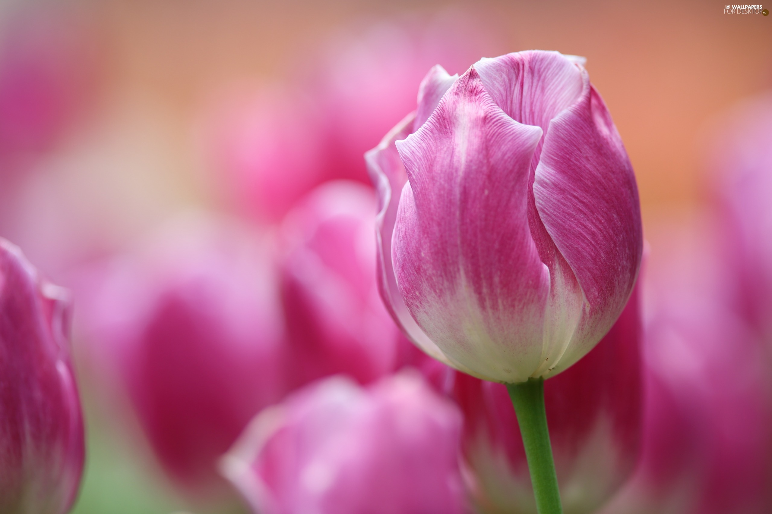 blurry background, Pink-White, tulip