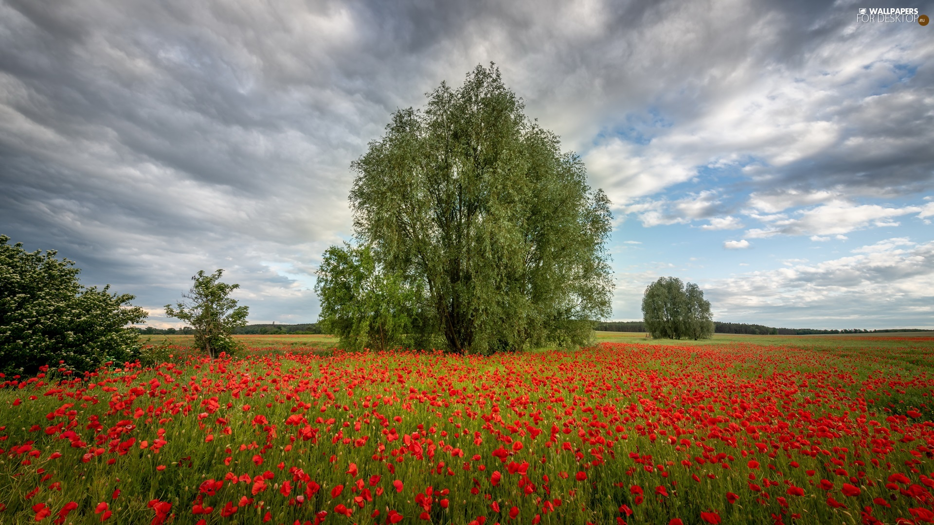 trees, Meadow, Bush, clouds, viewes, papavers