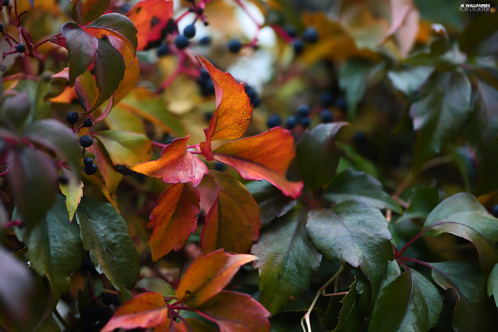 Woodbine, Leaf, Fruits, color