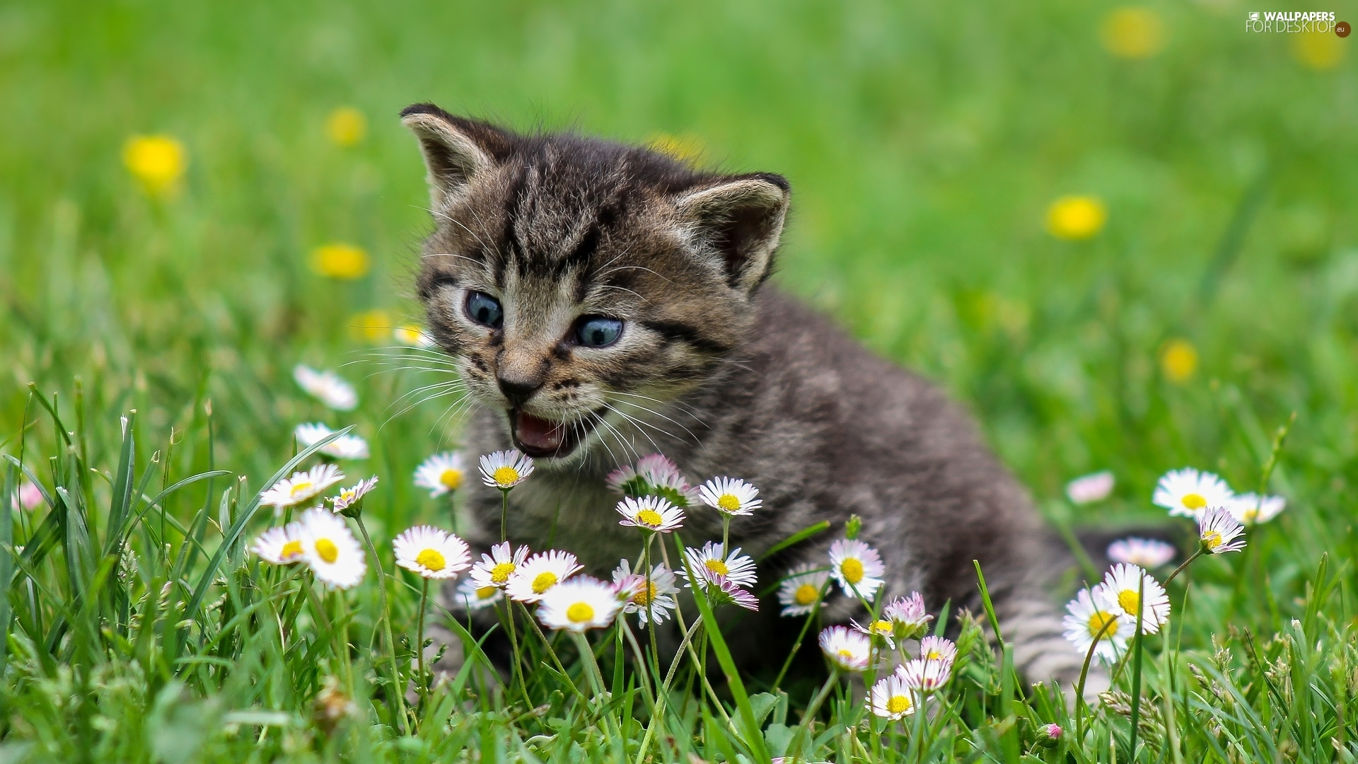 small, kitten, daisies, dun