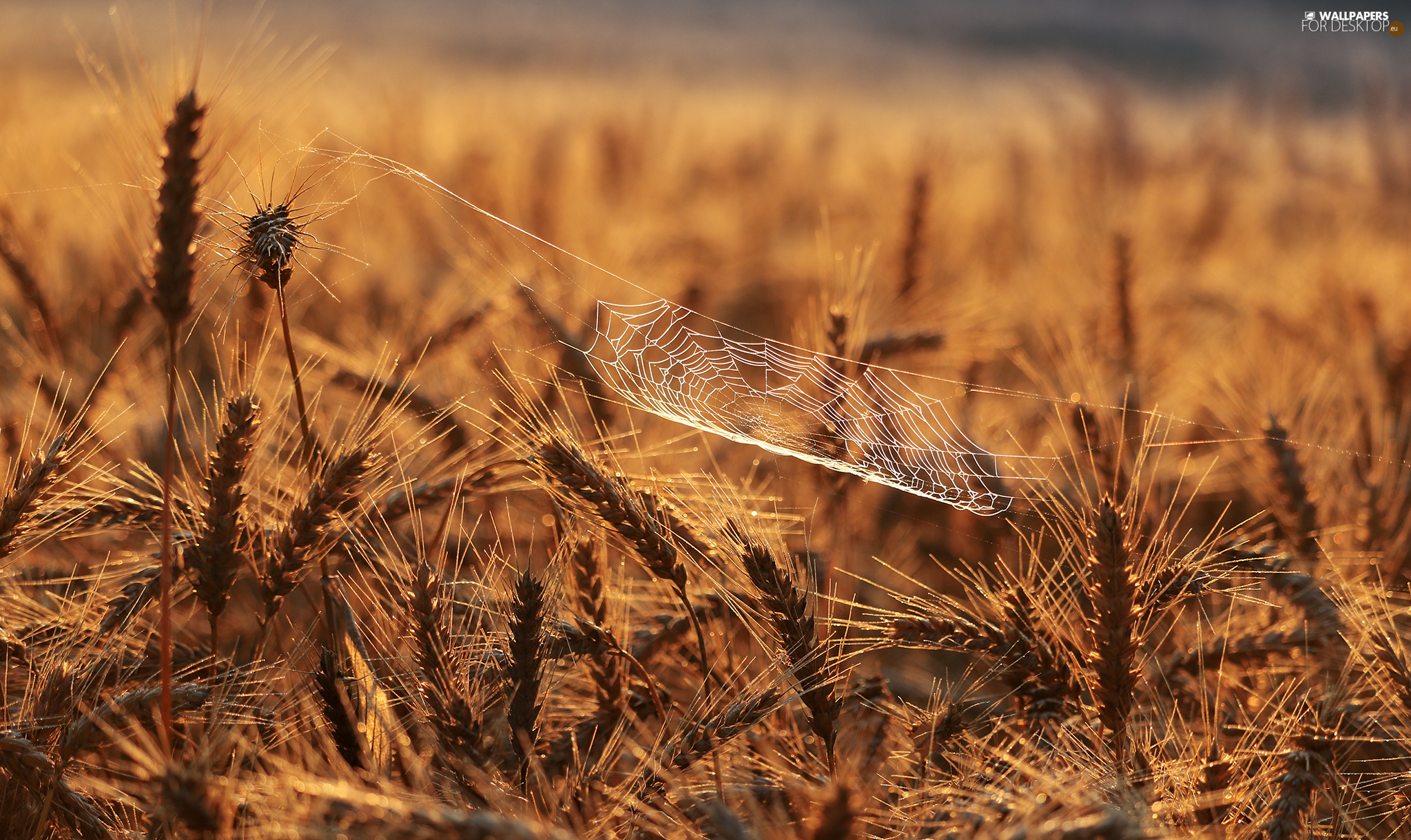 corn, Web, blur, Ears