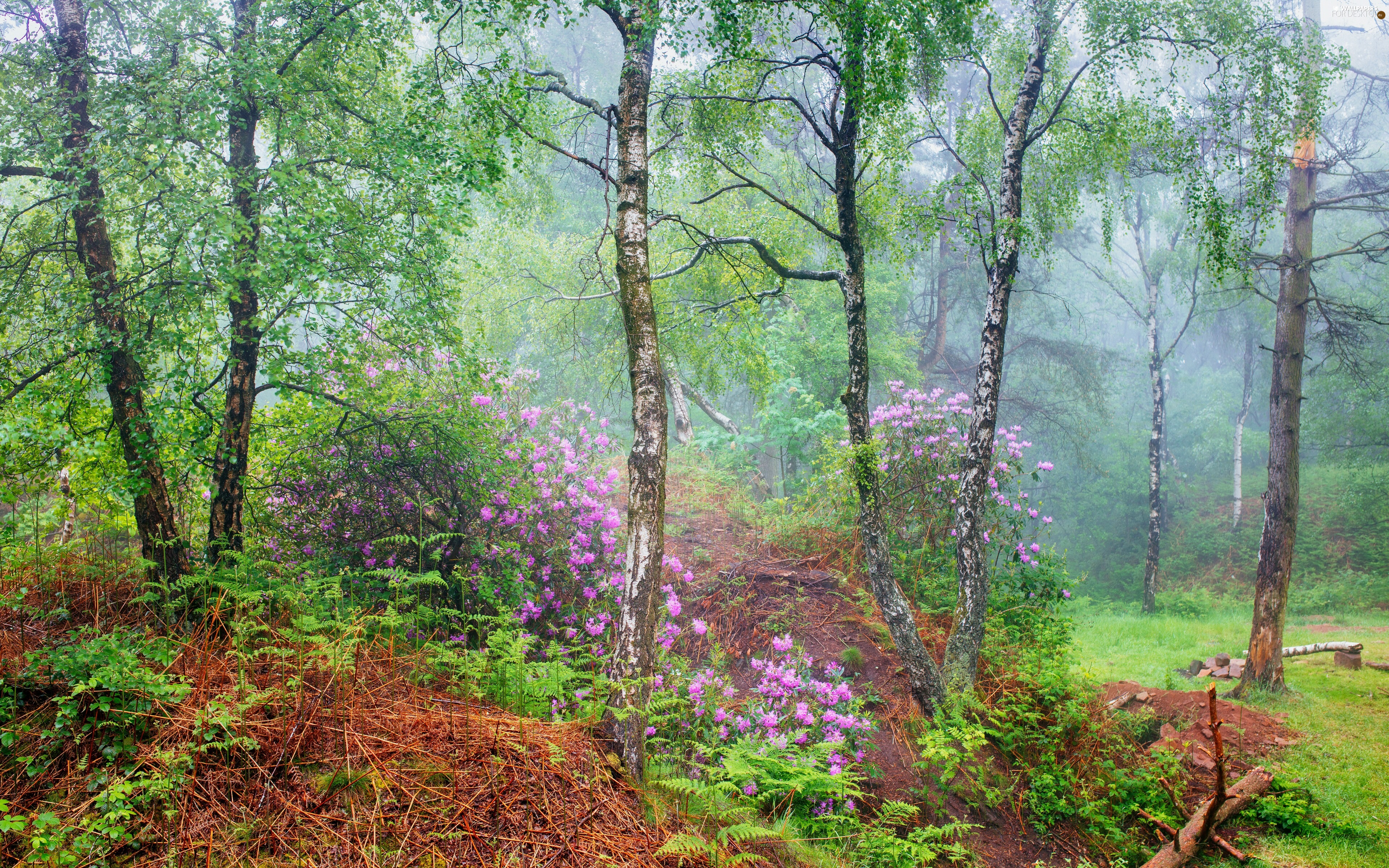 Rhododendron, forest, Leaf, County Derbyshire, Flowers, summer, birch, England, Peak District National Park, Rhododendrons