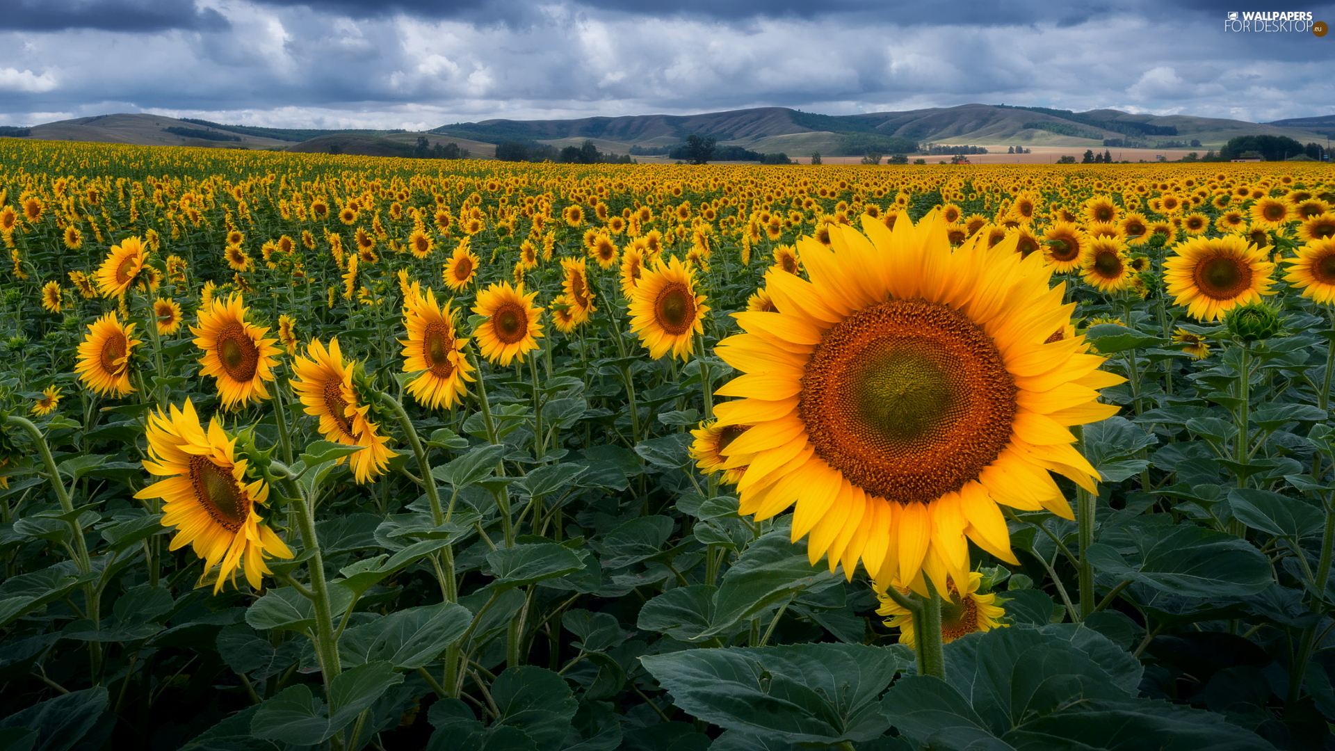 Nice sunflowers, plantation, Field