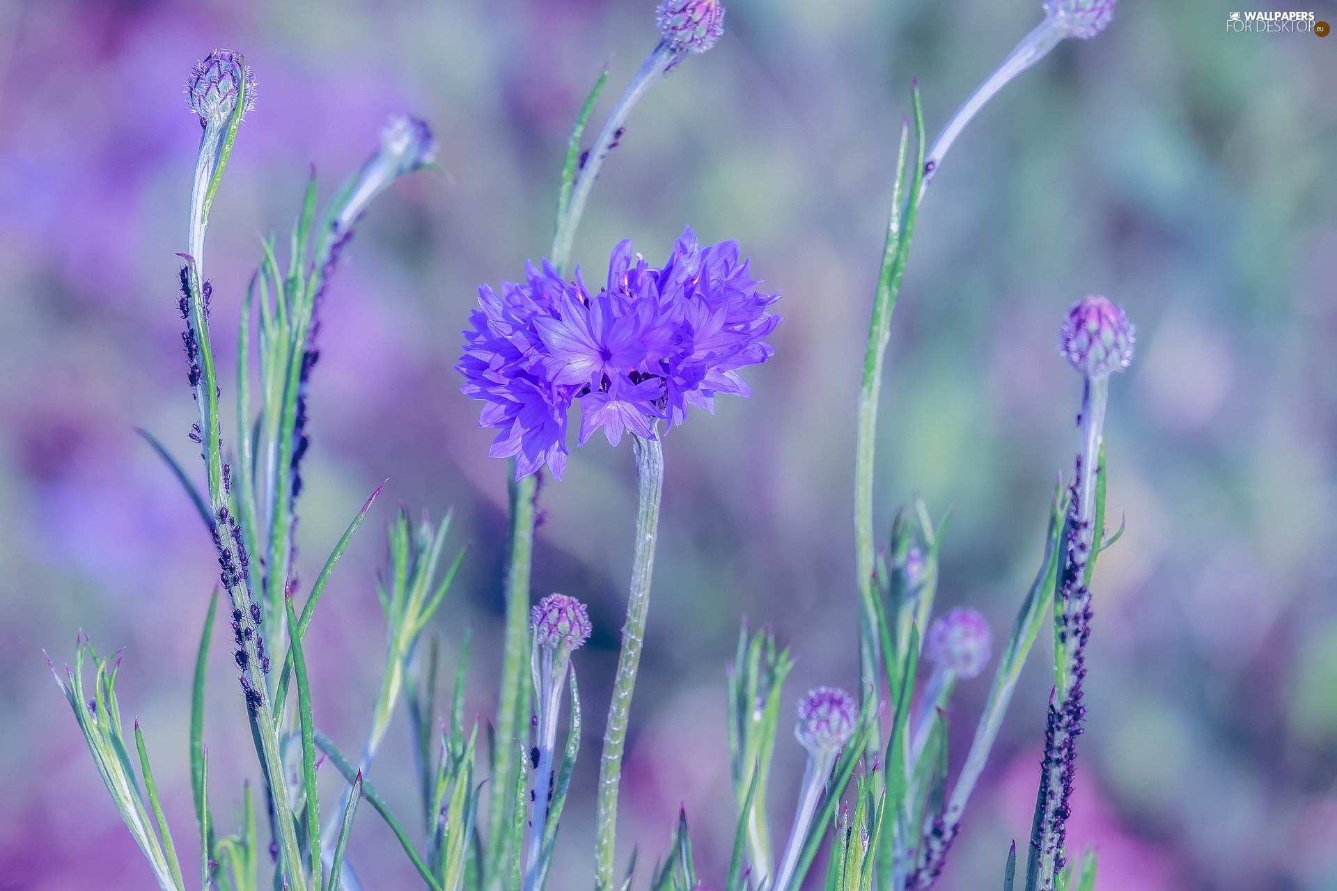 blurry background, cornflowers, insects