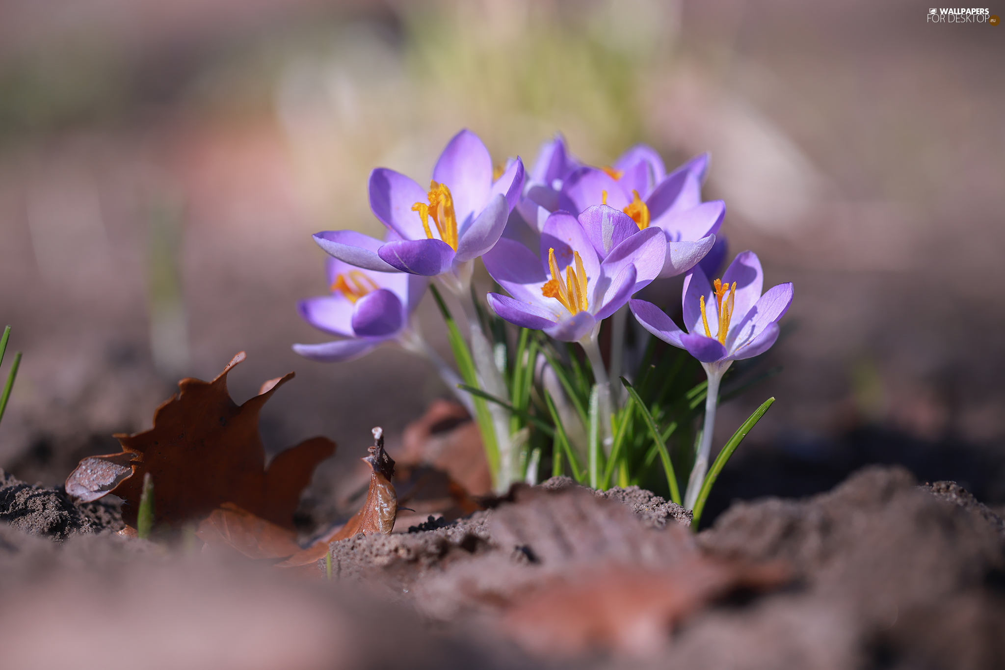 cluster, Leaf, crocuses, Flowers, lilac