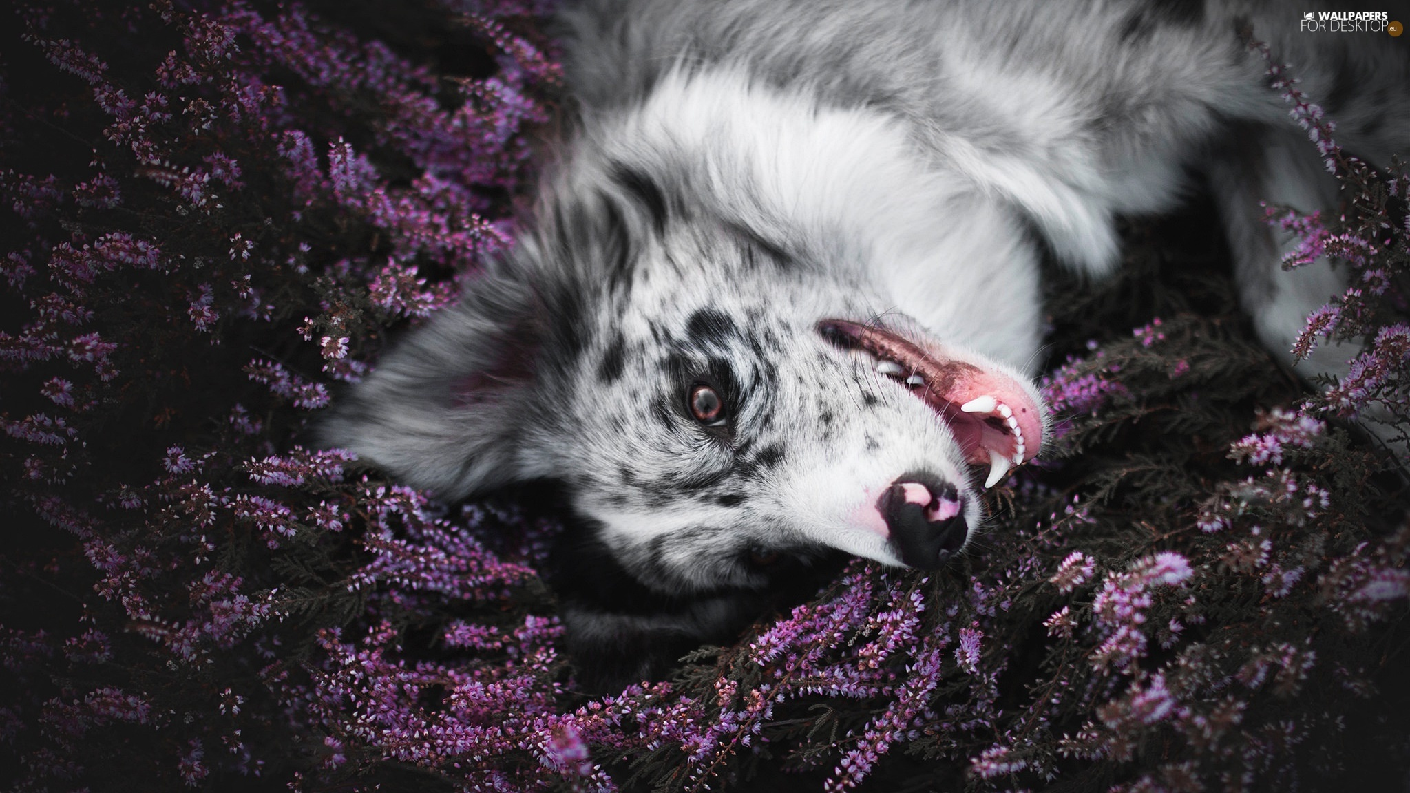 dog, muzzle, heather, Border Collie