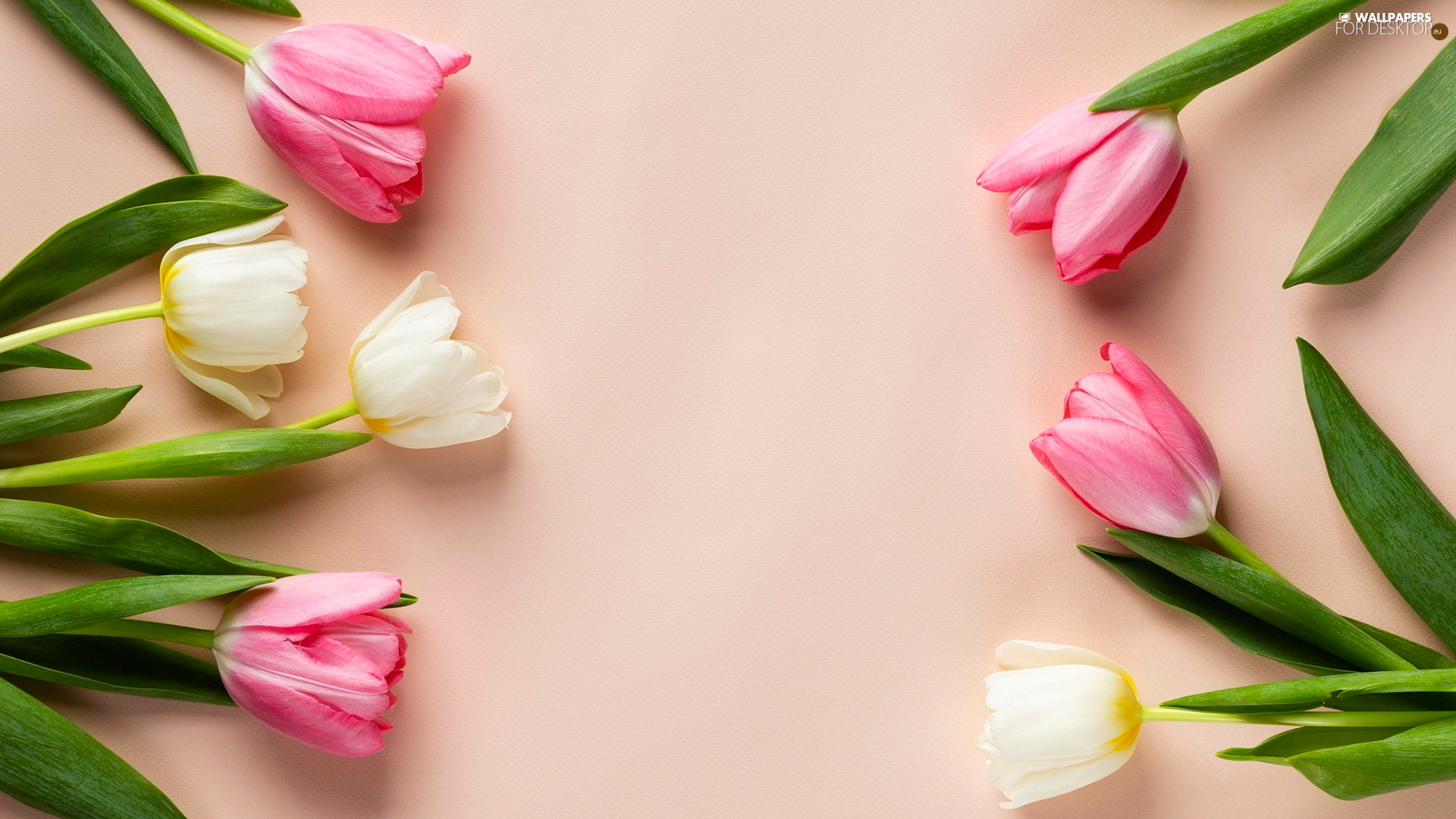 Flowers, Pink tulips, background, color