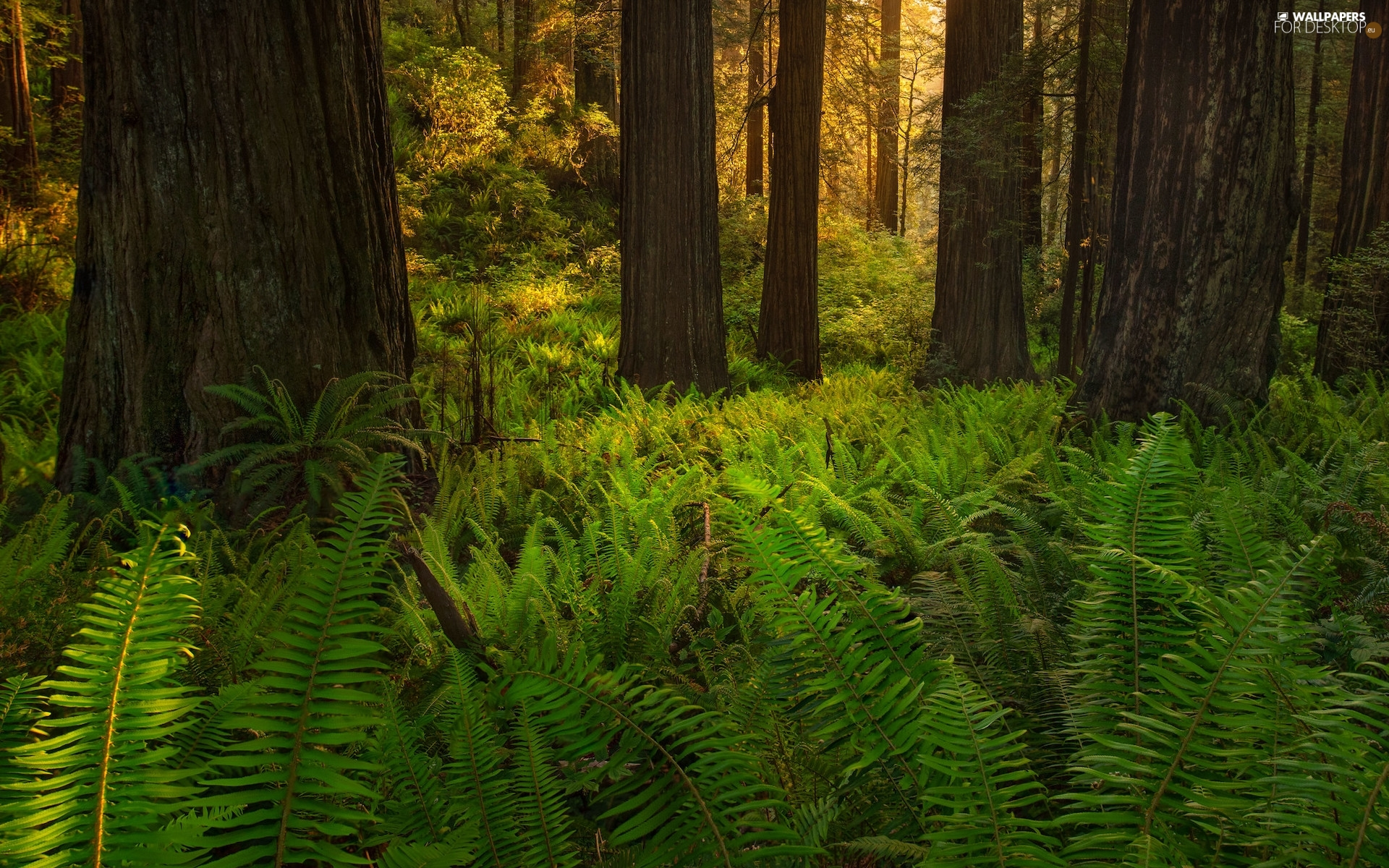 forest, California, viewes, Redwood National Park, The United States, trees, fern