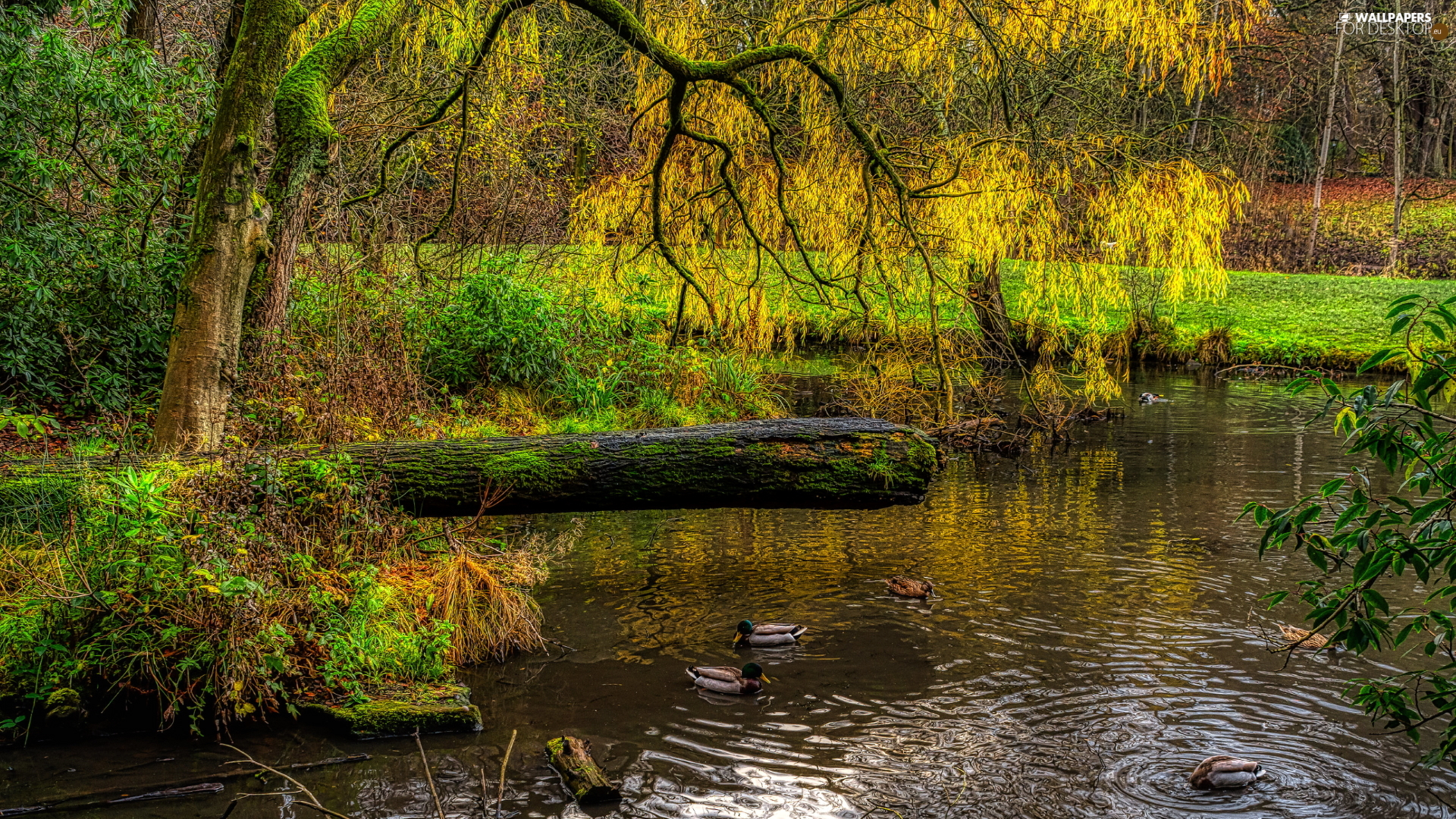 trees, inclined, HDR, branch pics, Spring, Pond - car, Park, ducks