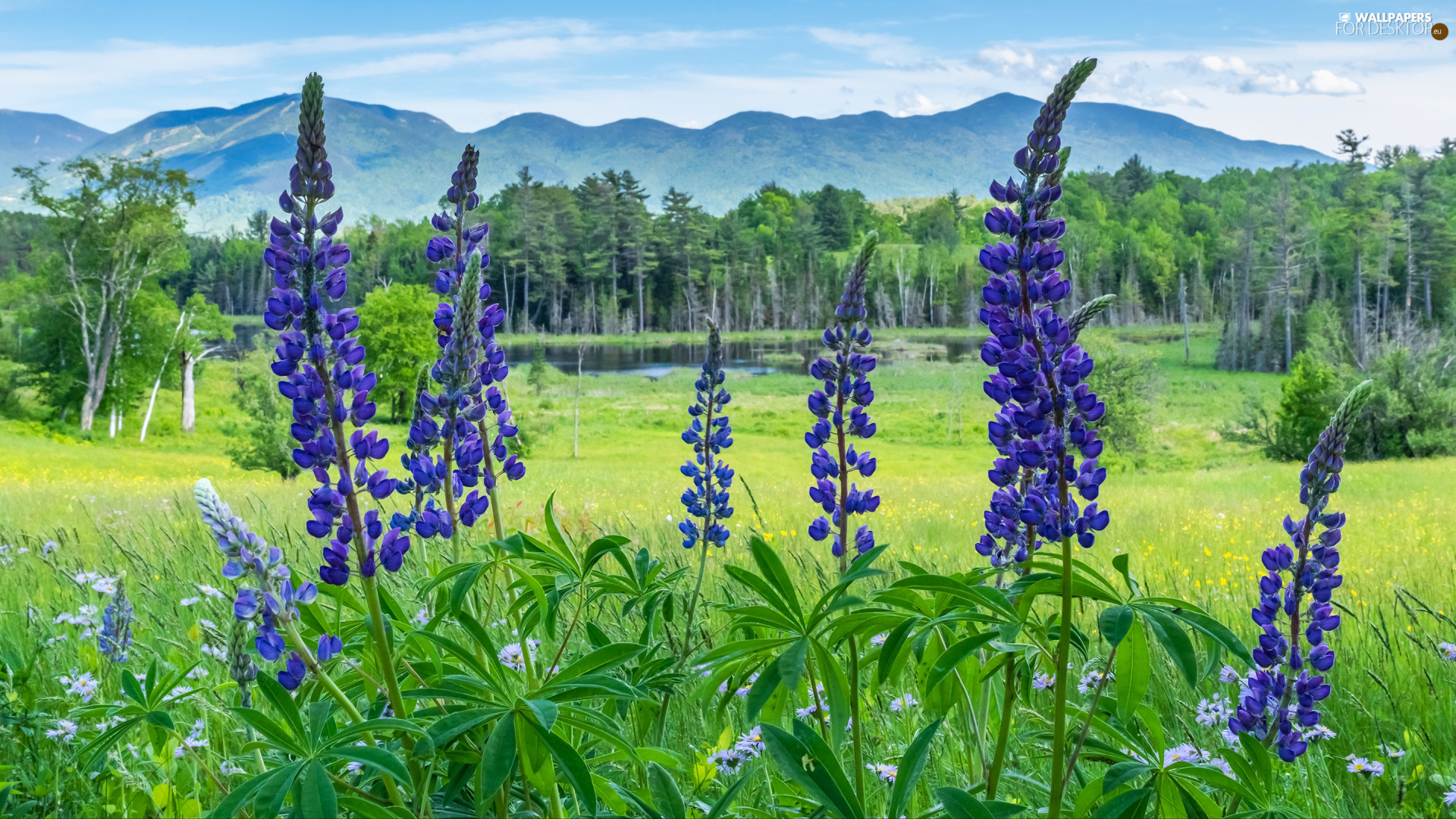lupins, purple, trees, viewes, Mountains, Flowers