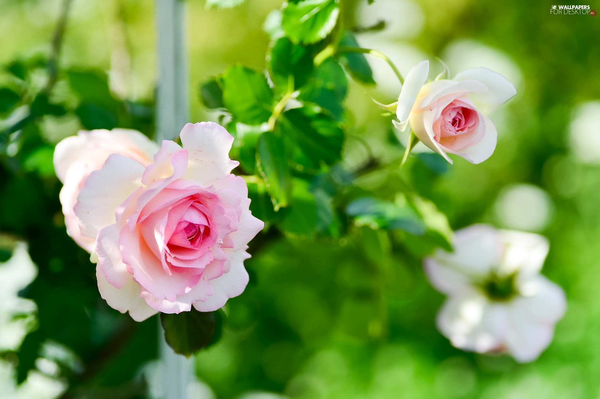 bud, white and pink, roses