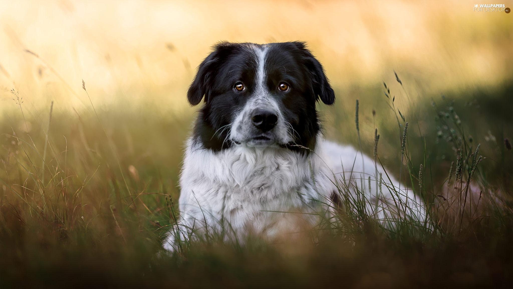 dog, black and white, grass, mongrel