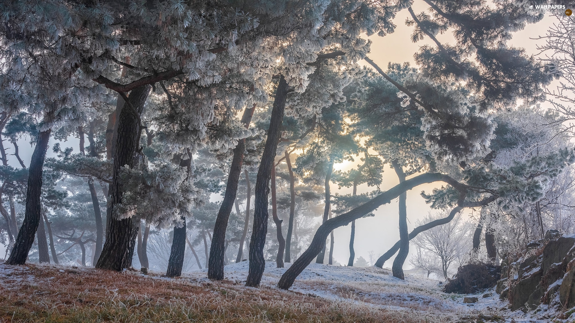 frosty, trees, grass, winter, pine, viewes