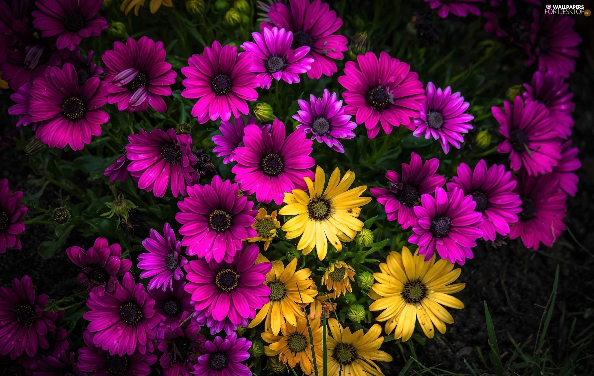 African Daisies, Pink, Yellow