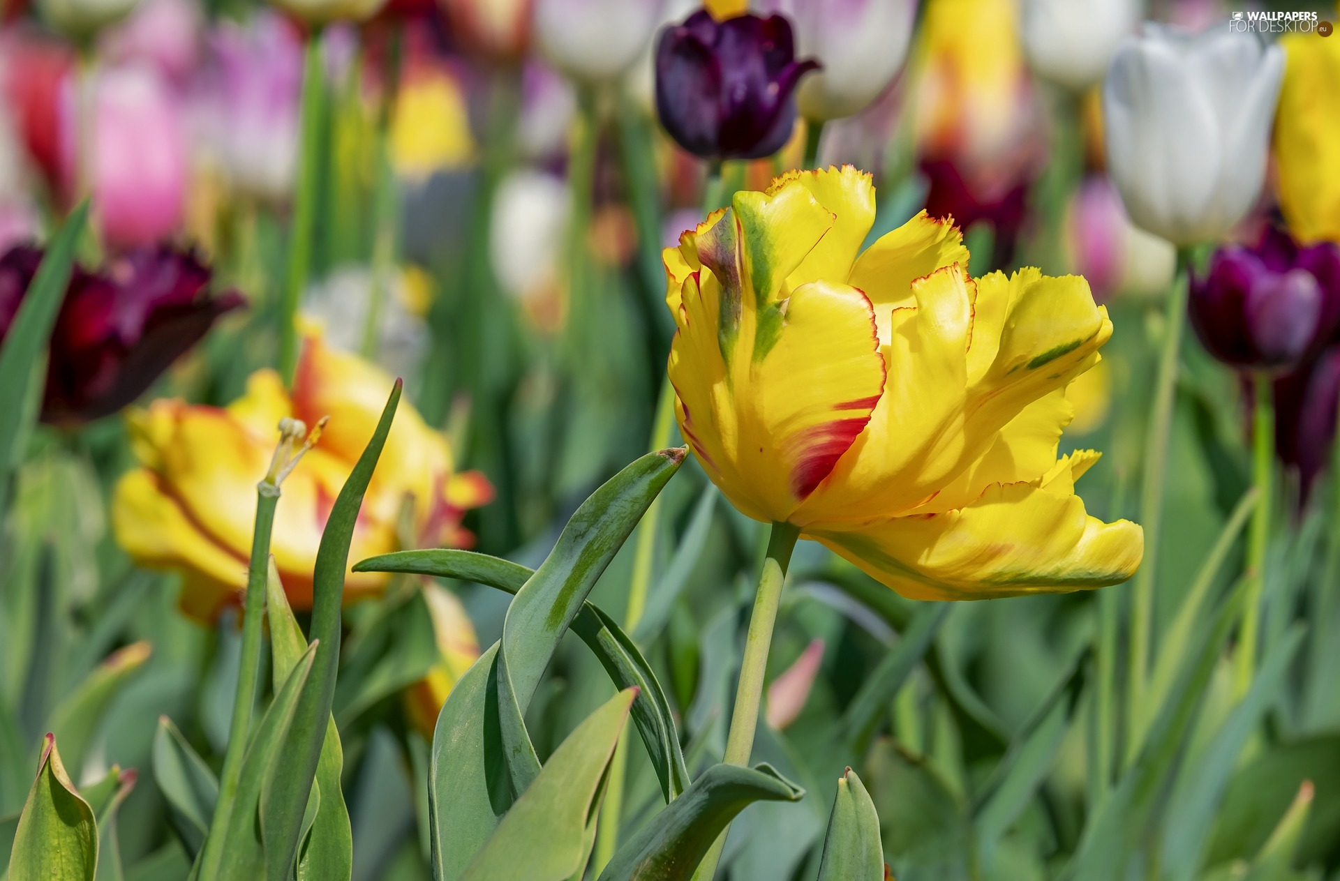 Meadow, blurry background, Yellow, tulip, Tulips