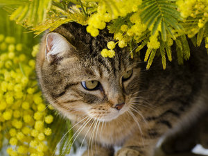 cat, branch pics, Acacia Dealbata, Plants