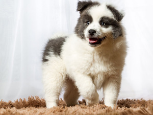 Puppy, Australian Shepherd, carpet, dog