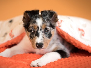 dog, Border Collie, duvet, Puppy