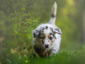 dog, Australian Shepherd, Twigs, Puppy