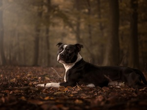 Autumn, Leaf, Amstaff, forest, dog