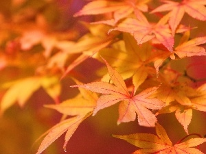 autumn, maple, Leaf