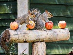 beam, squirrels, apples