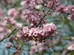 twig, Flowers, blurry background, Fruit Tree