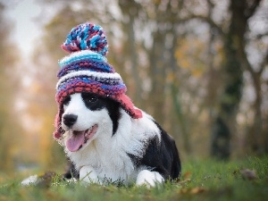 Meadow, Puppy, Bonnet, Border Collie