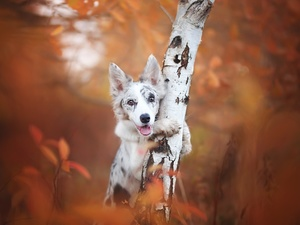 trees, birch-tree, Border Collie, muzzle, dog