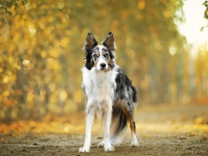 Way, dog, Border Collie