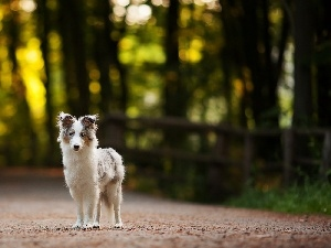 Border Collie, Way