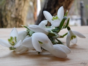 snowdrops, small bunch