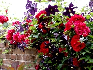 Clematis, Red, roses