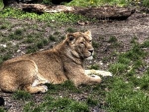 grass, Lod on the beach, Lioness, Clumps, laying