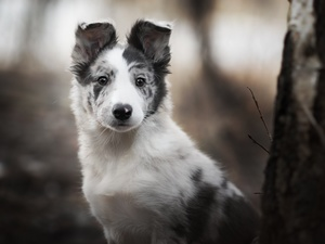 Puppy, dog, Border Collie